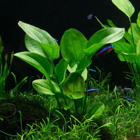 Echinodorus muricatus grandiflorus