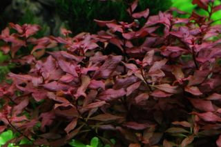 "Ludwigia Repens ""Diamond Red"""