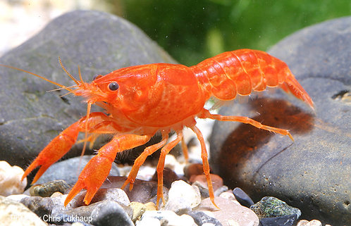 Cambarelus Patzcuarensis var.Orange