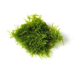 Vesicularia spec. Triangel moss 4,5x4,5cm
