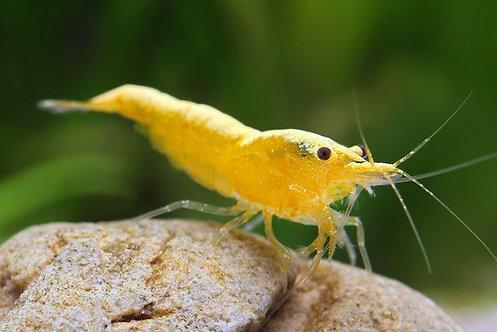Yellow Fire Shrimp 1 und.