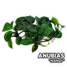 Anubias Nangi