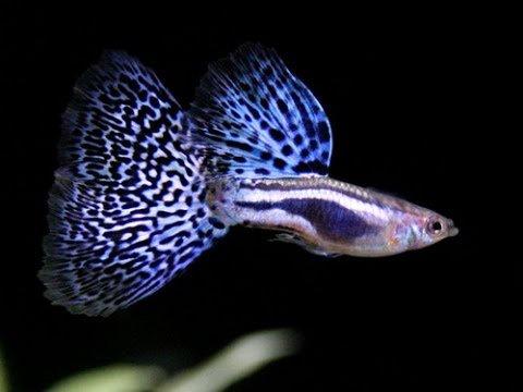 Guppy Fancy Blue