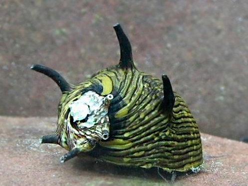 Clithon Donovani Snail