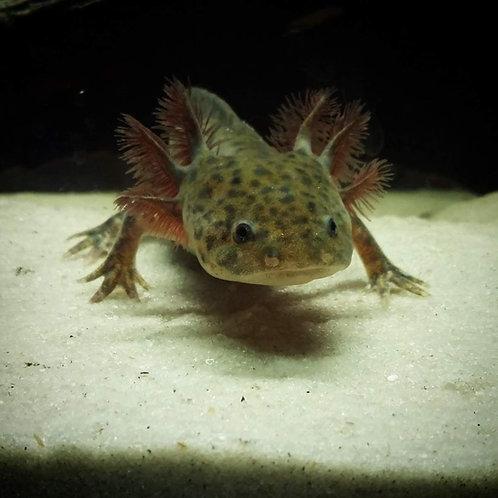 Ambystoma mexicanum - Axolotl 8-9cm