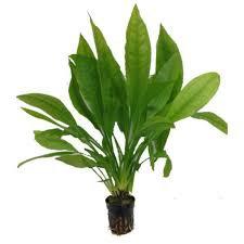 Echinodorus Paniculatus ( amazonense )