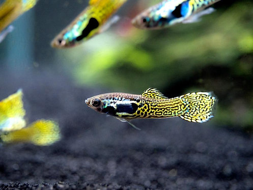 Guppy Endler Cobra Green