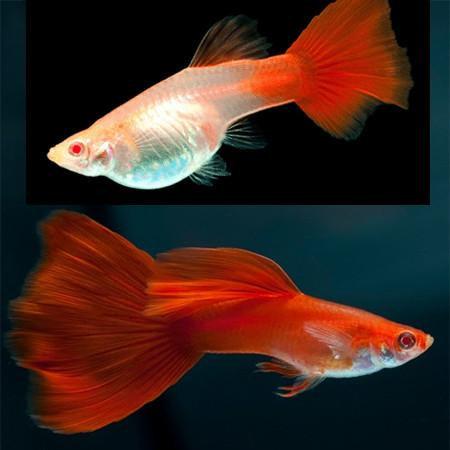 Guppy Full Red (casal)