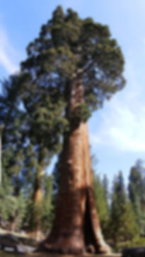Sentinel_Tree_Giant_Redwood_Sequoiadendr