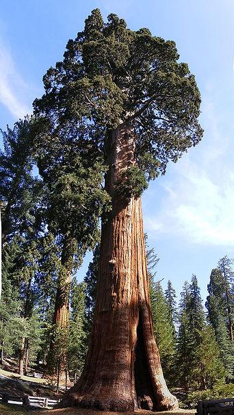 Sentinel_Tree_Giant_Redwood_Sequoiadendr