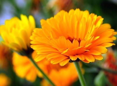 Ritual da flor de calêndula para um sono tranquilo - Vovó Maria Conga