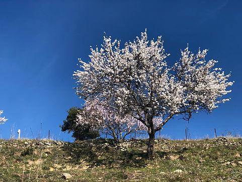 Arbre fleurs Tralonca.jpg