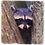 Marble Art Photo Coaster  - Raccoon - Stanley Park - Vancouver - Photo Images printed on Marble and Wood