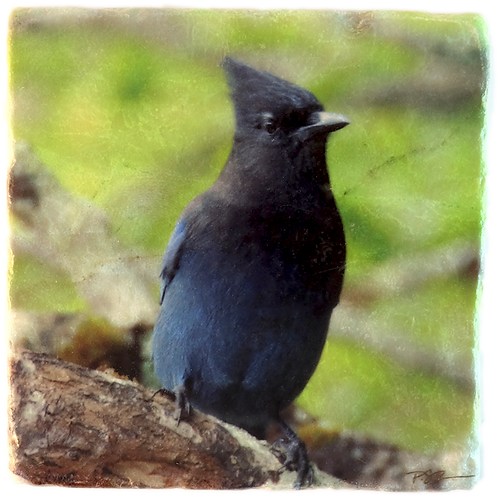 Marble Art Photo Coaster  - Stellar's Jay - Photo Images printed on Marble and Wood