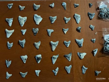 Particular entrega al INAH 211 dientes fósiles, posiblemente de Otodus megalodon