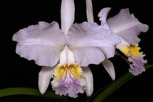 Cattleya lueddeamnniana coerulea