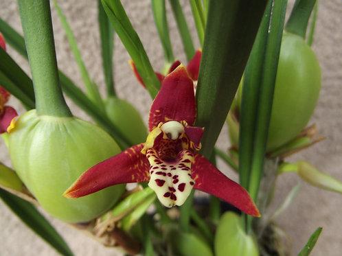 Maxillaria tenuifolia / Coconut orchid