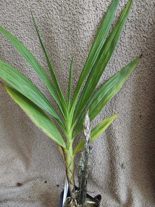 Cyrtopodium andersoni