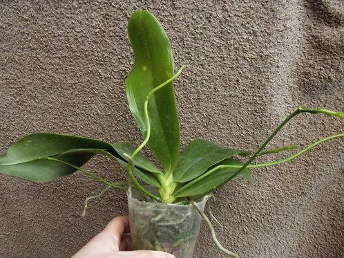 Phalaenopsis imperatrix x pulchra