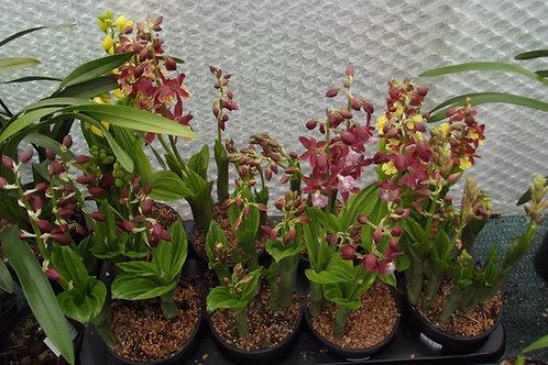 Calanthe garden orchid , mixed colour