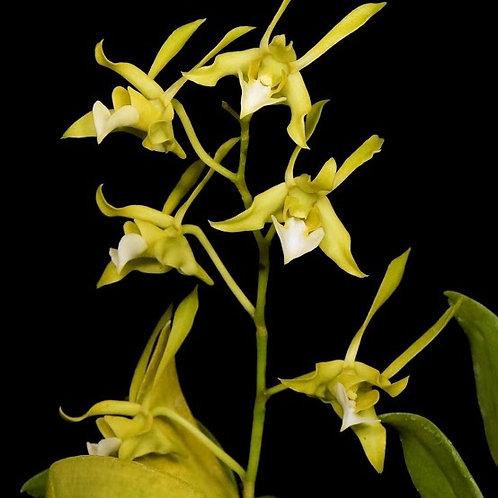 Dendrobium bicaudatum v. album