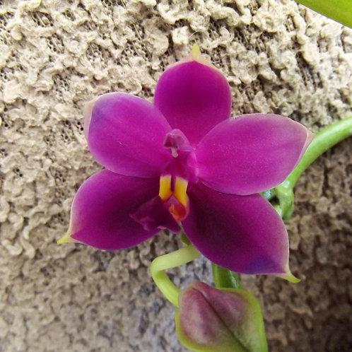 Phalaenopsis violacea 'Magenta'
