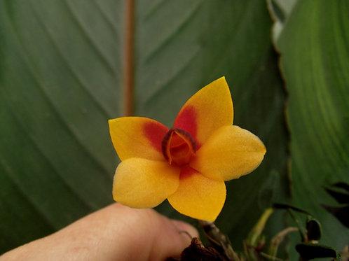 Dendrobium cuthbertsonii hybrid