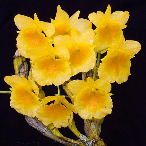 Dendrobium capillipes