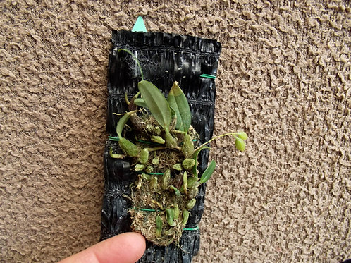 Bulbophyllum nipondhii