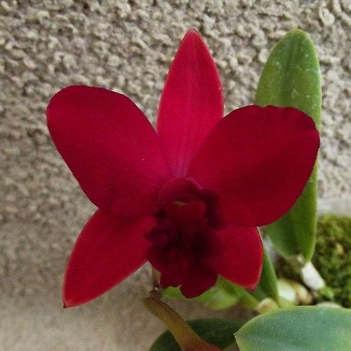Cattleya Shen Yi 'Cranberry'