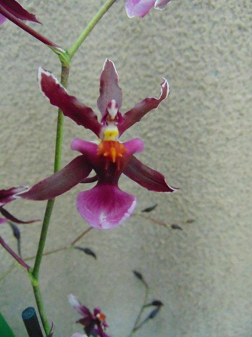 Oncidium Katrin Zoch 'Mieke'