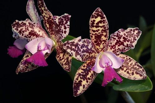 Cattleya Green Emerald 'Orchid Queen'