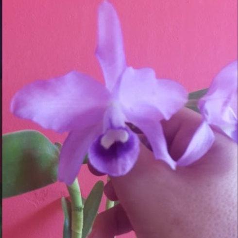 Cattleya bowringiana var. coerulea