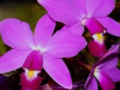 Cattleya violacea 'Muse'