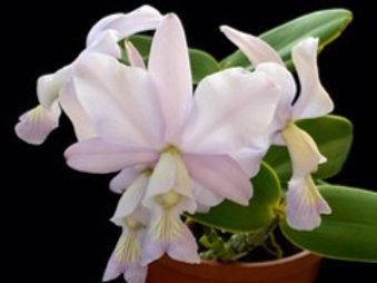 Cattleya nobilor var. coerulea