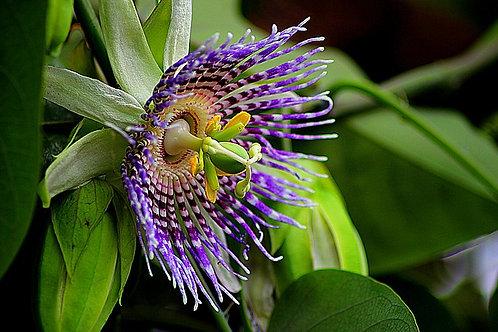 Purple passion fruit (Passiflora edulis)