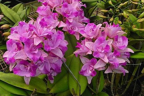 Cattleya Monte Elegante 'Xin Pu'