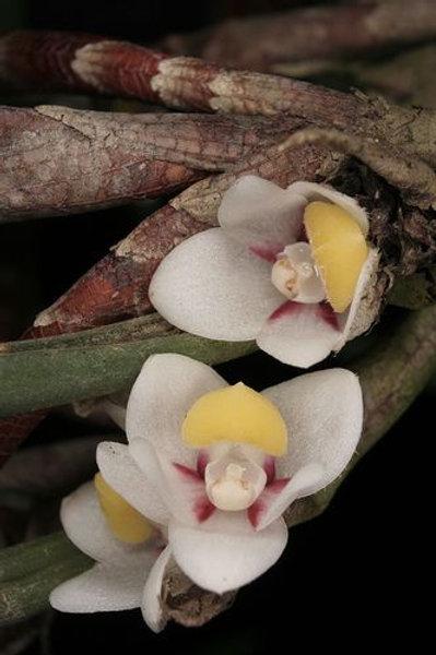 Ceratostylis subulata