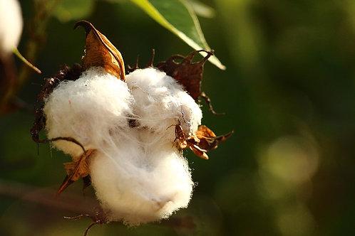 Cotton plant (Gossypsium hirsutum)