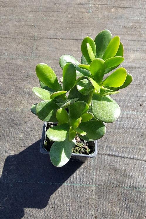 Crassula ovata, money tree, jade  plant