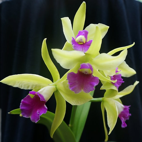 Cattleya Mary Green 'Green Pride'