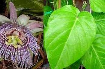 Sweet granadilla (Passiflora ligularis)