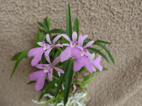 Oestredella centradenia ( Epidendrum centropetalum)
