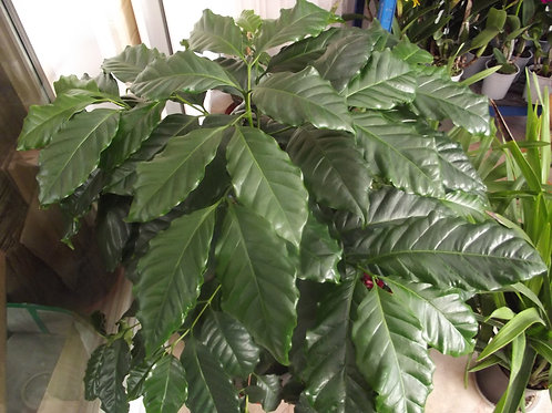 Coffea arabica , coffee plant