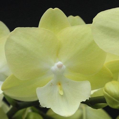 Phalaenopsis '1279'