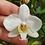 Thumbnail: Phalaenopsis philippinensis