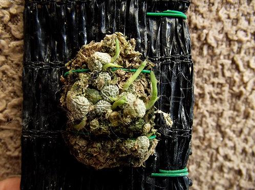 Conchidium muscicola