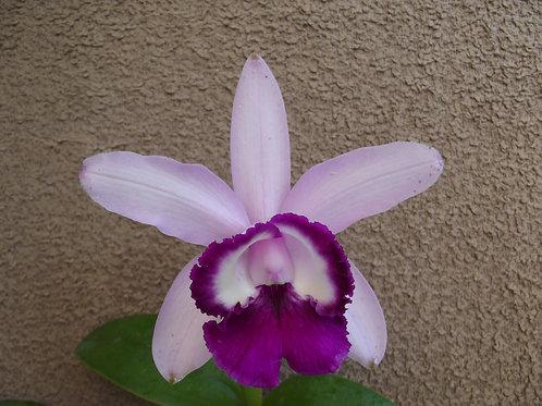 Cattleya intermedia orlata
