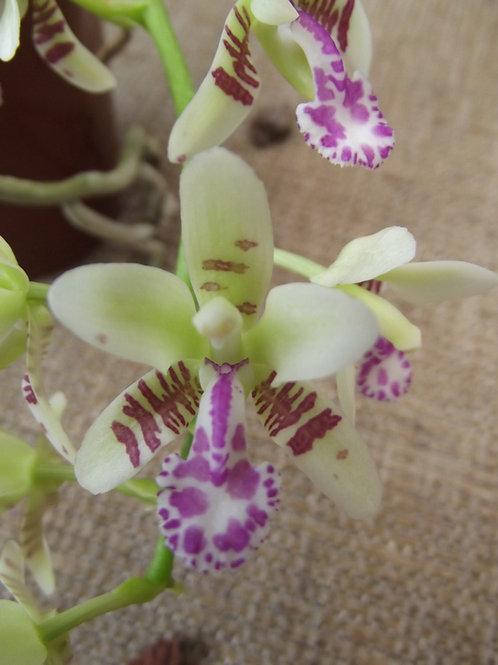 Sedirea/ Phalaenopsis  japonica