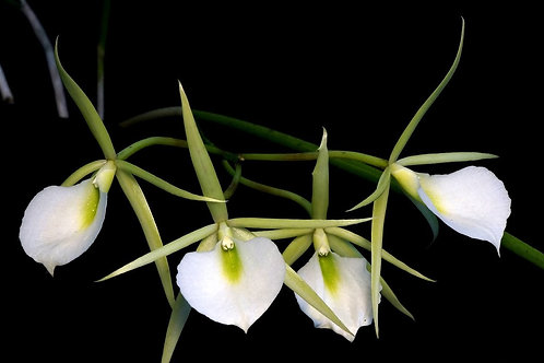 Brassavola fragrans